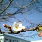 3/28開花