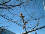3/17桜